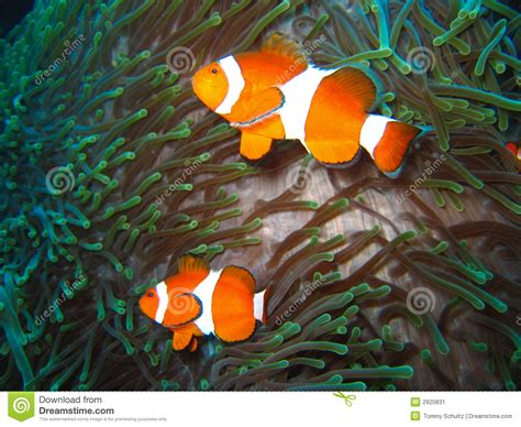 Tropical Clown Fish Family Stock Image - Image: 2920831