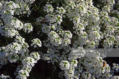 Lobularia Maritima Commonly Known As Sweet Alyssum Or