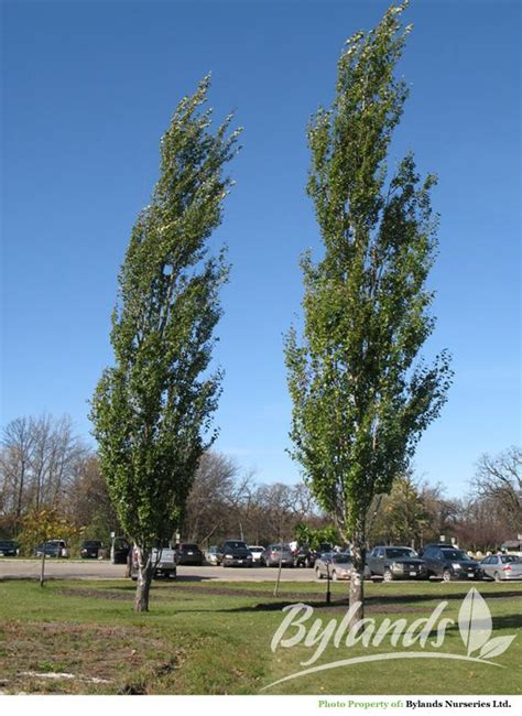 Tower Poplar - Populus x canescens 'Tower' | Bylands