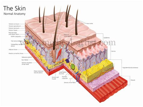 Integumentary System - PPS @ CAL