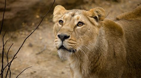 Asiatic lion | Zoological Society of London (ZSL)