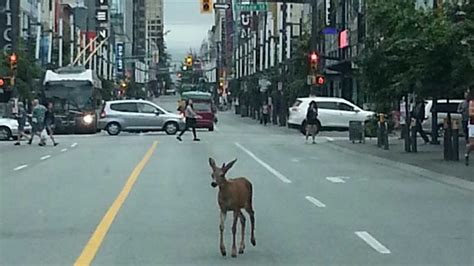 Deer spotted hoofing it through downtown Vancouver   CTV News