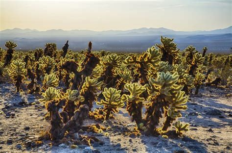 What Are the Dangers of a Jumping Cholla Cactus?   Hunker