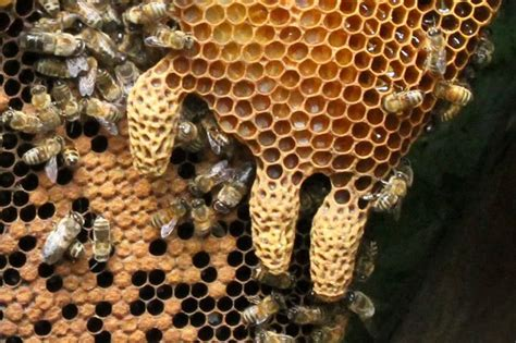 Is it a swarm cell or a supersedure cell? - Honey Bee Suite
