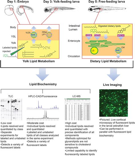 Frontiers | Lipid Uptake, Metabolism, and Transport in the